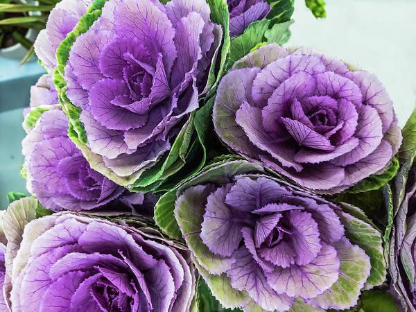 Cabbage Flower Art Print
