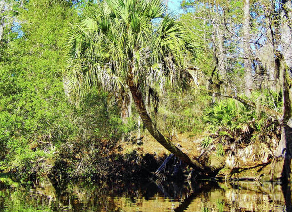 Photograph - Cabbage Palm On The Bank by D Hackett