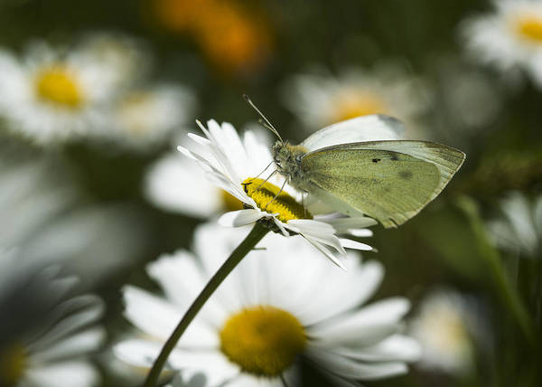Photograph - Cabbage White Butterfly And Daisies by Robert Potts