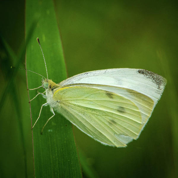 Photograph - Cabbage White by Jeff Phillippi