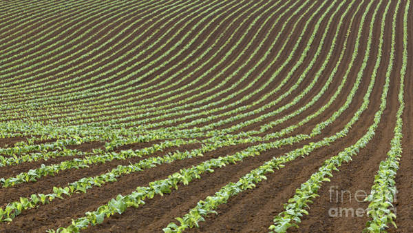 Wall Art - Photograph - Cabbages by Richard Thomas