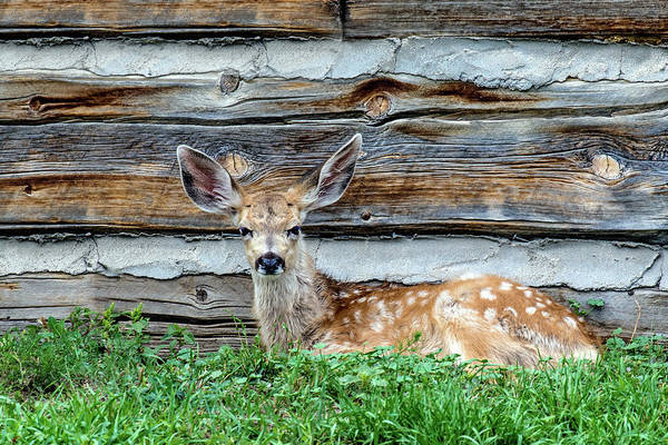 Wall Art - Photograph - Cabin Fawn by Dawn Key