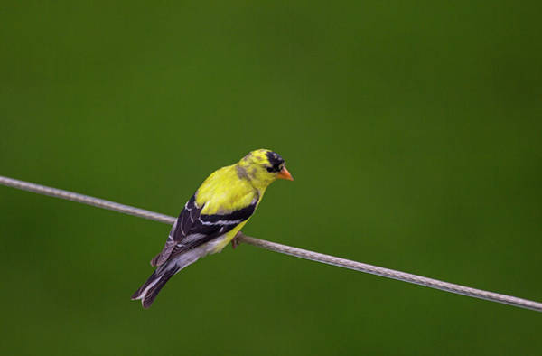 Southern Ontario Photograph - Cable Guy - American Goldfinch - Spinus Tristis by Spencer Bush