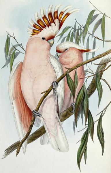 Major Painting - Cacatua Leadbeateri by John Gould