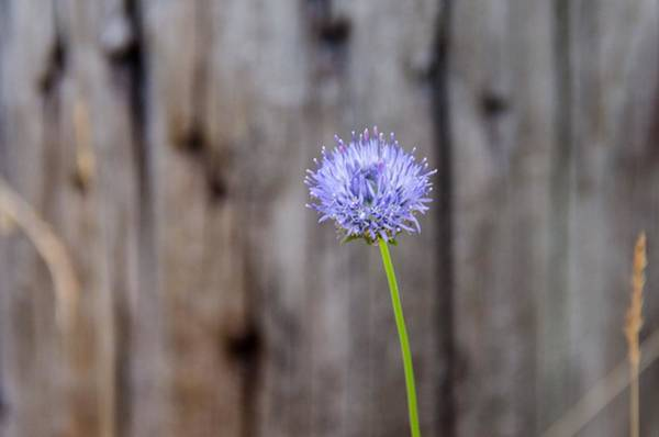 Cachalot Wall Art - Photograph - Cachalot Wildflowers, I by Dennis Wilkinson