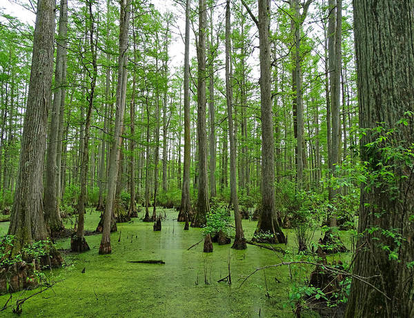 Photograph - Cache River Swamp by Sandy Keeton