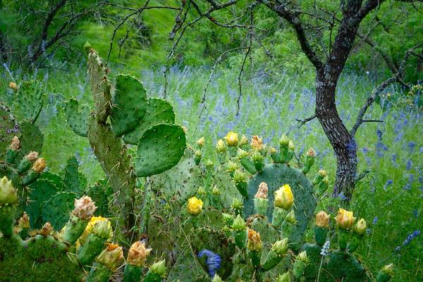 Photograph - Cacti And Bluebonnets II by Jay Anne Boza
