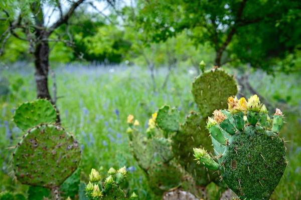 Photograph - Cacti And Bluebonnets by Jay Anne Boza
