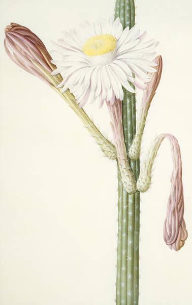 Decorative Drawing - Cactus Ambiguus by Pierre Joseph Redoute