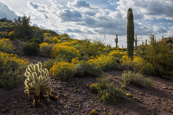 Desert Flower Photograph - Cactus And Springtime Desert Wildflowers. by Dave Dilli