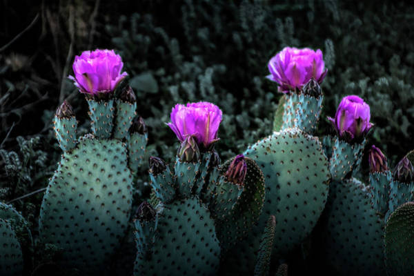 Photograph - Cactus Blooming In The Anza-borrego Desert State Park by Randall Nyhof