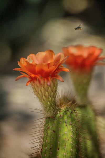 Photograph - Cactus Blooms And Bee by Tam Ryan