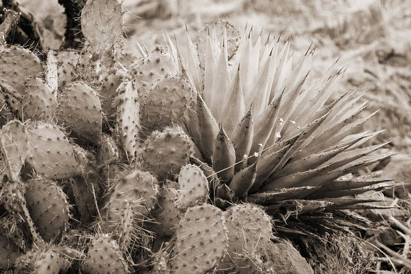 Photograph - Cactus by Bob Coates