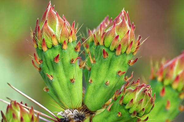 Photograph - Cactus Buds H1857 by Mark Myhaver