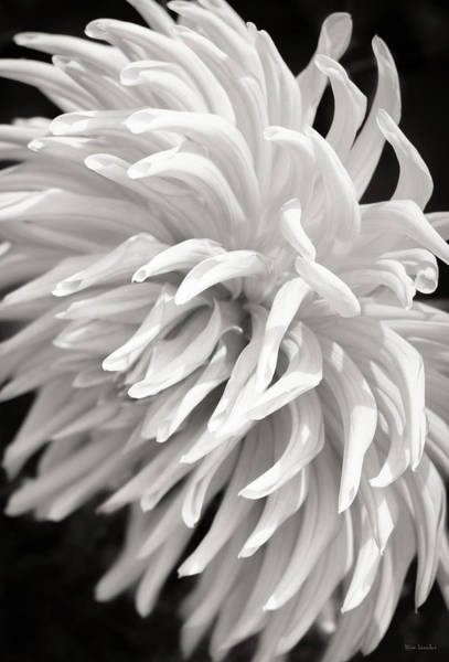 Cactus Flower Wall Art - Photograph - Cactus Dahlia by Wim Lanclus