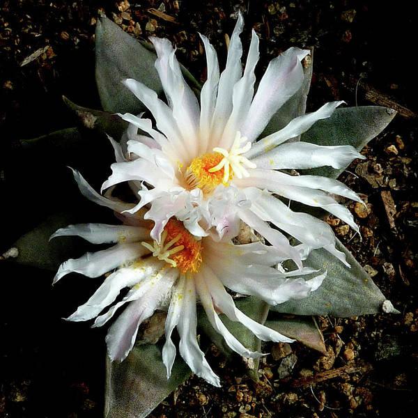 Photograph - Cactus Flower 7 2 by Selena Boron