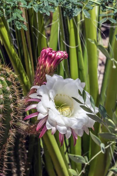 Photograph - Cactus Flower 7672 by Tam Ryan