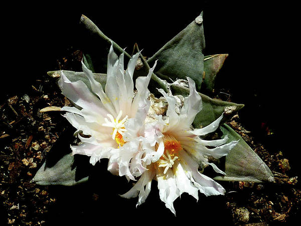 Photograph - Cactus Flower 9 2 by Selena Boron