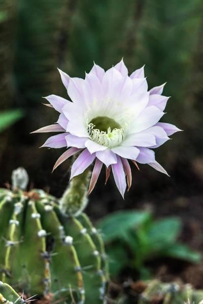 Photograph - Cactus Flower 9211 by Tam Ryan