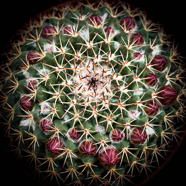 Wall Art - Photograph - Cactus  Flower by Catherine Lau