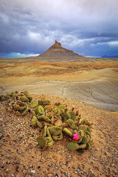 Photograph - Cactus Flower In The Badlands. by Johnny Adolphson