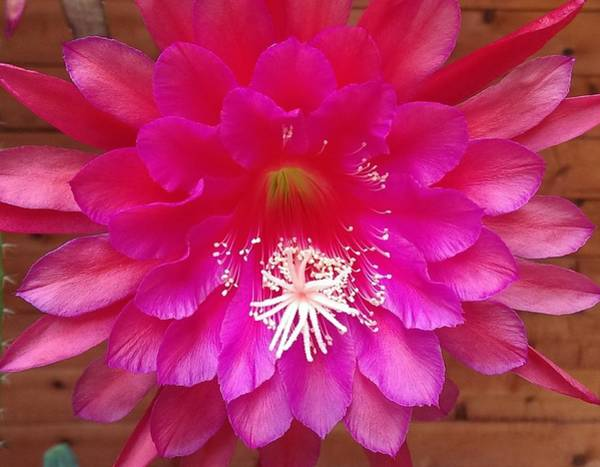 Wall Art - Photograph - Cactus Flower by Nick Blake