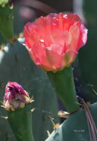 Wall Art - Photograph - Cactus Flower by Suzanne Gaff