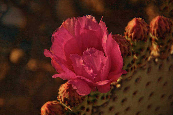 Photograph - Cactus Flower by Theo O'Connor
