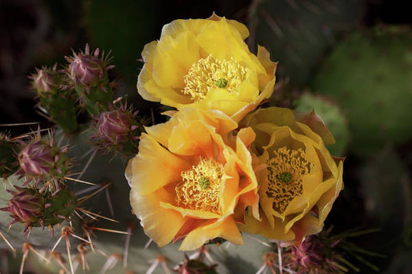 Photograph - Yellow Cactus Flowers by Tatiana Travelways
