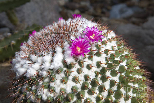 Photograph - Cactus In Bloom by Jim West