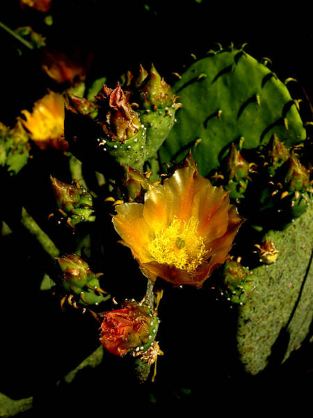 Photograph - Cactus In Sunset Light by James Granberry
