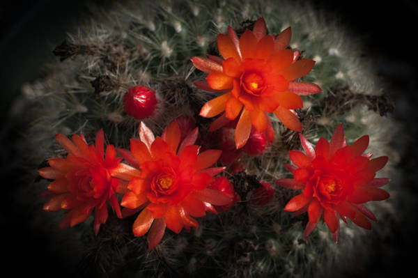 Wall Art - Photograph - Cactus Red Flowers by Catherine Lau