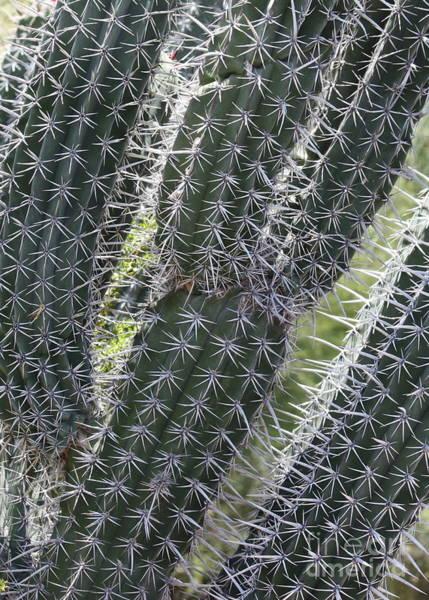 Photograph - Cactus Stars by Carol Groenen
