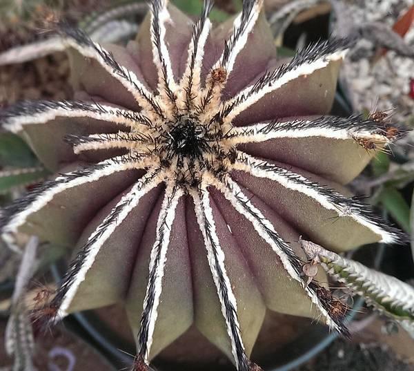 Wall Art - Photograph - Cactus Ubelmannia by Nick Blake