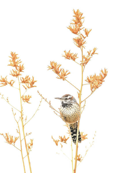Photograph - Cactus Wren # 3 by Tom and Pat Cory