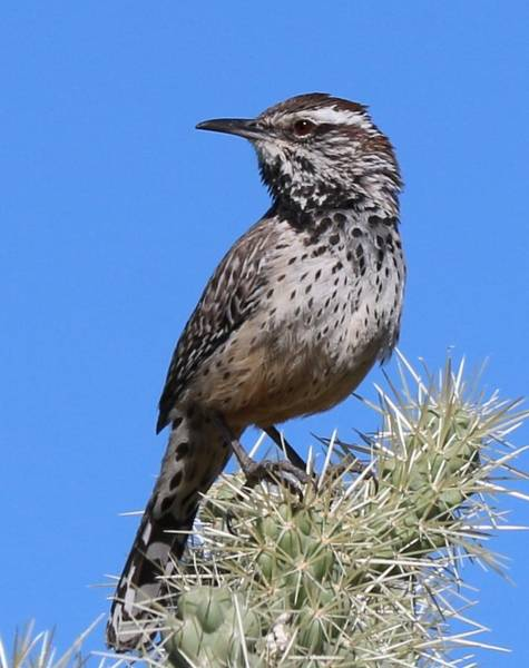 Photograph - Cactus Wren - 2 by Christy Pooschke