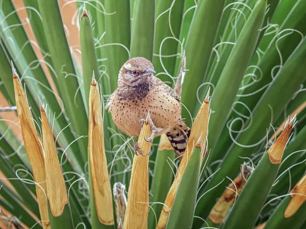Photograph - Cactus Wren 4597 by Tam Ryan