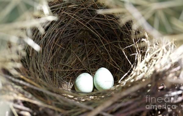 Photograph - Cactus Wren Eggs by Kerri Mortenson