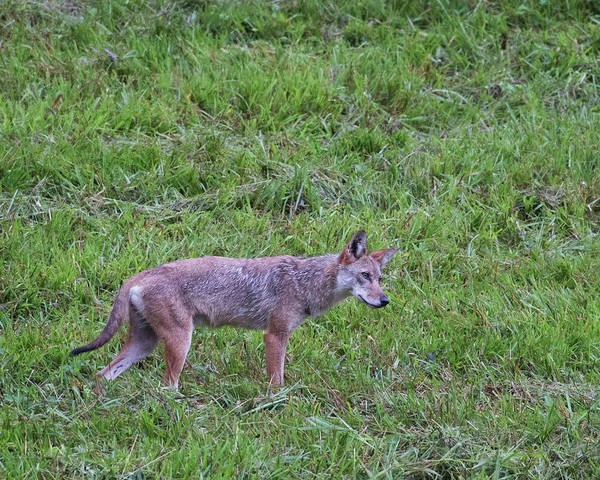 Photograph - Cades Cove Coyote Listening by Jemmy Archer