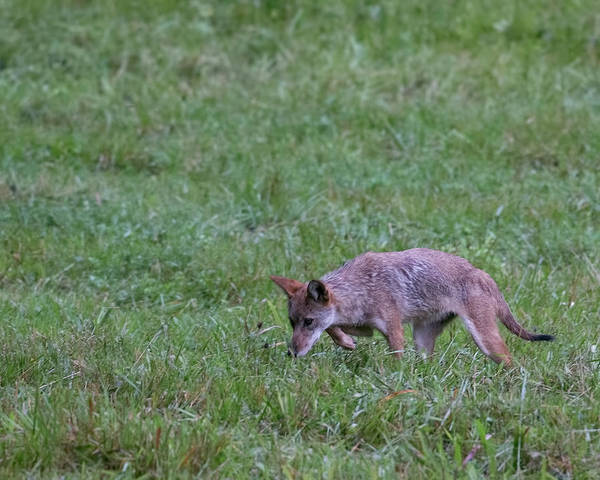 Photograph - Cades Cove Coyote Stalking by Jemmy Archer