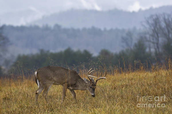 White Tailed Deer Photograph - Cades Cove White-tail - D007884 by Daniel Dempster