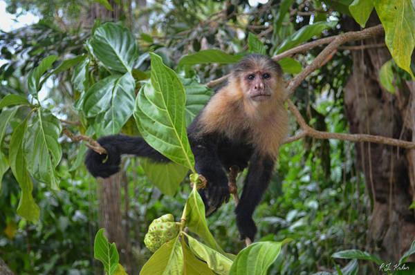 Cahuita Photograph - Cahuita Monkey by Robert Kaler