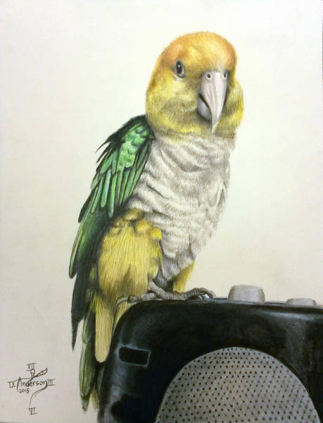 Green Parrot Drawing - Caique Parrot Portrait by Jonathan Anderson
