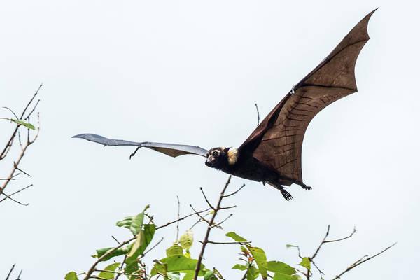 Photograph - Cairns Fruit Bat by Walt Sterneman