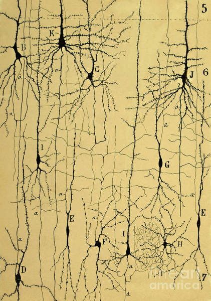 Sciences Photograph - Cajal Drawing Of Microscopic Structure Of The Brain 1904 by Science Source