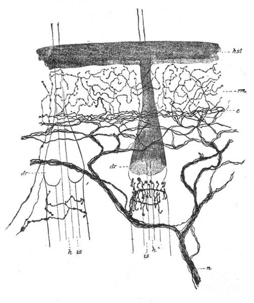 Photograph - Cajal Illustration Rat Nerve Endings by Science Source
