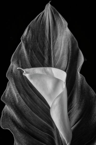 Wall Art - Photograph - Cala Lily And Large Leaf by Garry Gay