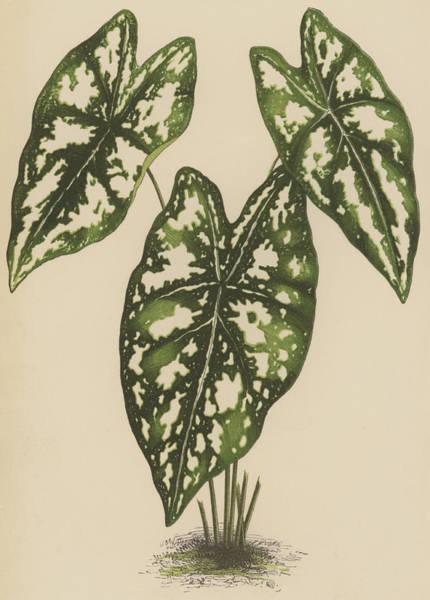 Leaf Venation Wall Art - Painting - Caladium Argyrites by English School