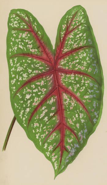 Leaf Venation Wall Art - Painting - Caladium Chantinii  by English School