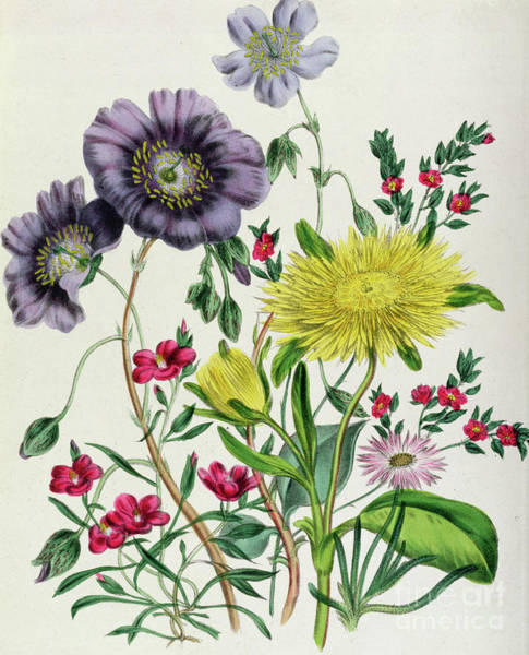 Horticulture Drawing - Calandrinia by Jane Loudon